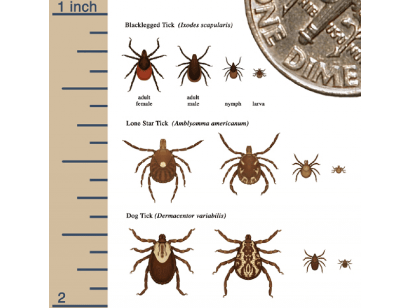 NJ Tick Species